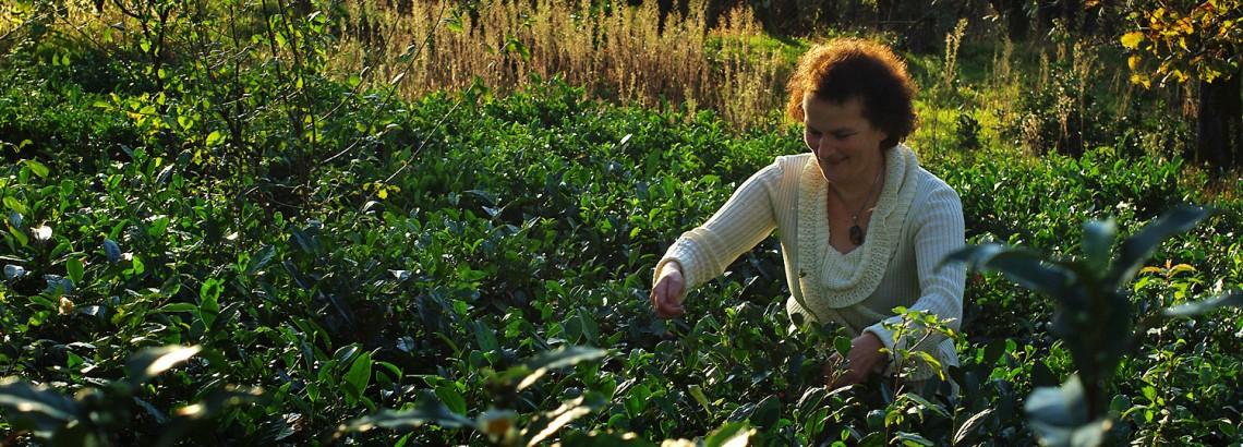 Herbaciane pola w Tkibuli